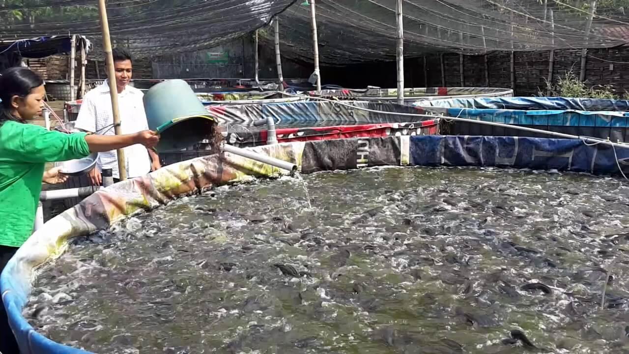 7 Cara Ternak Ikan Lele Organik Mudah Bagi Pemula
