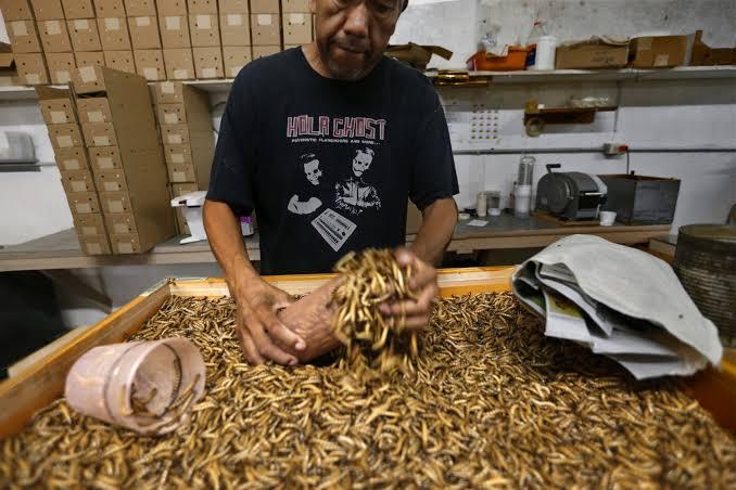 Menyediakan Kotak untuk Kumbang Jerman saat Budidaya