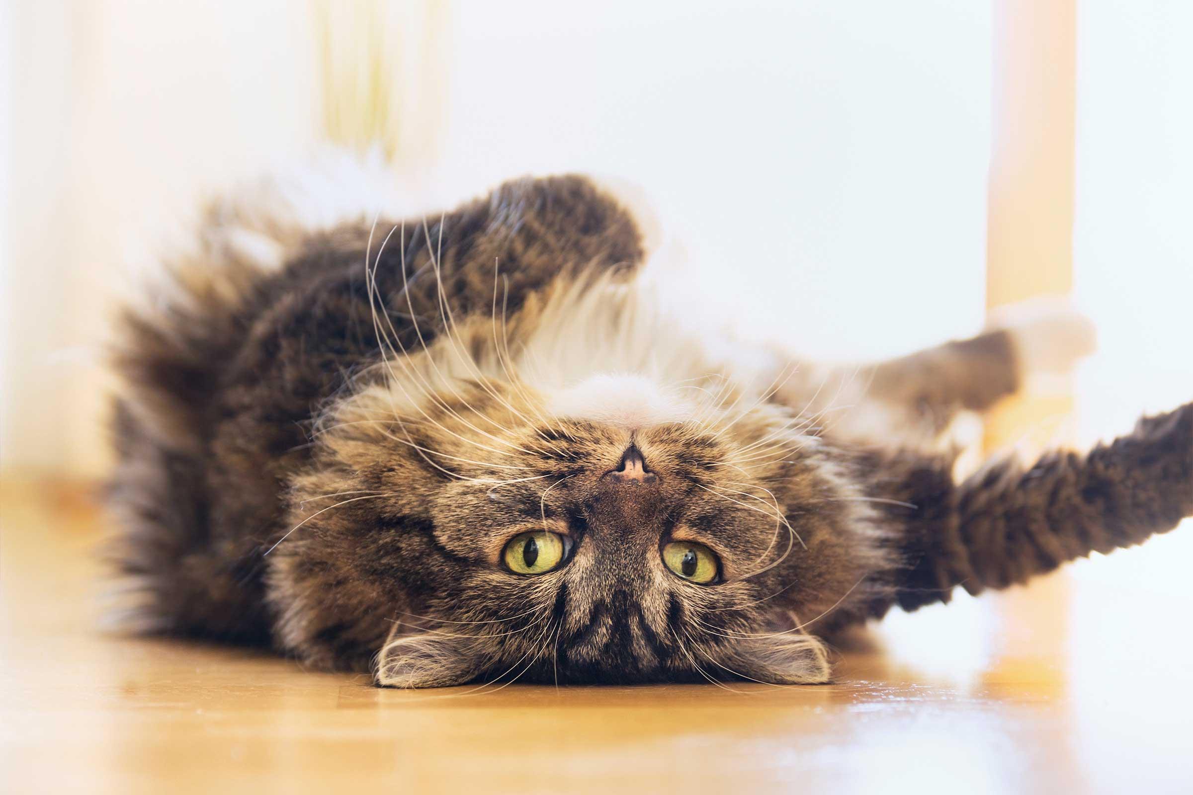 Ciri-ciri Kucing Pesia Berhasil Kawin: Sering Guling-Guling di Atas Lantai