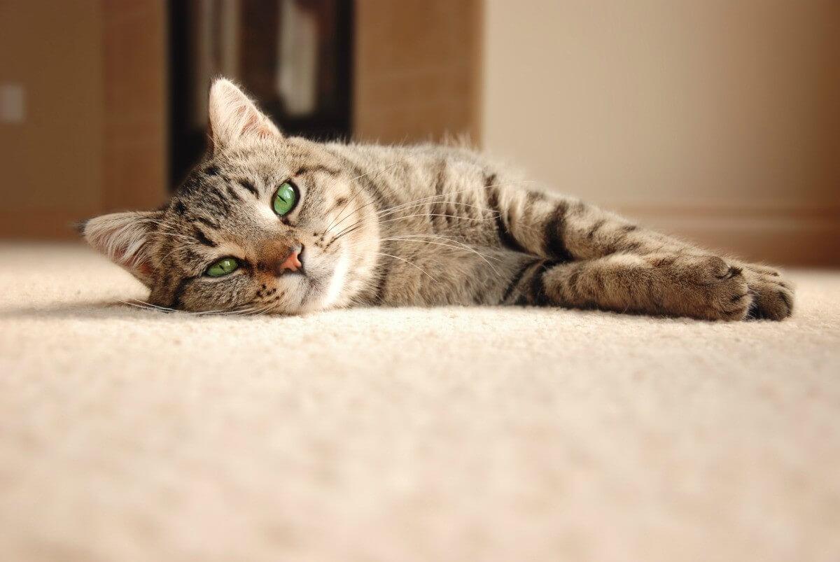 cara mengobati anak kucing yang sakit lemas