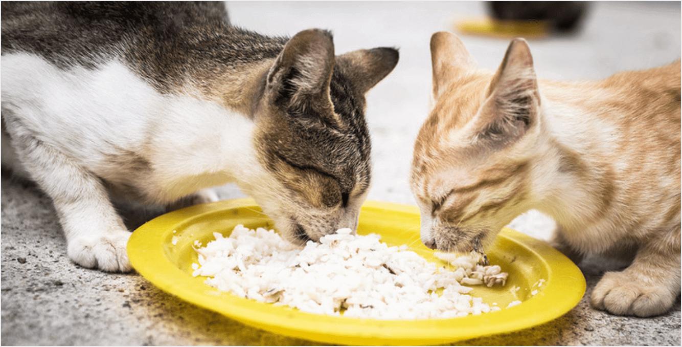 Cara Memelihara Kucing Kampung Kecil: Tidak Terlalu Banyak Memberikan Nasi