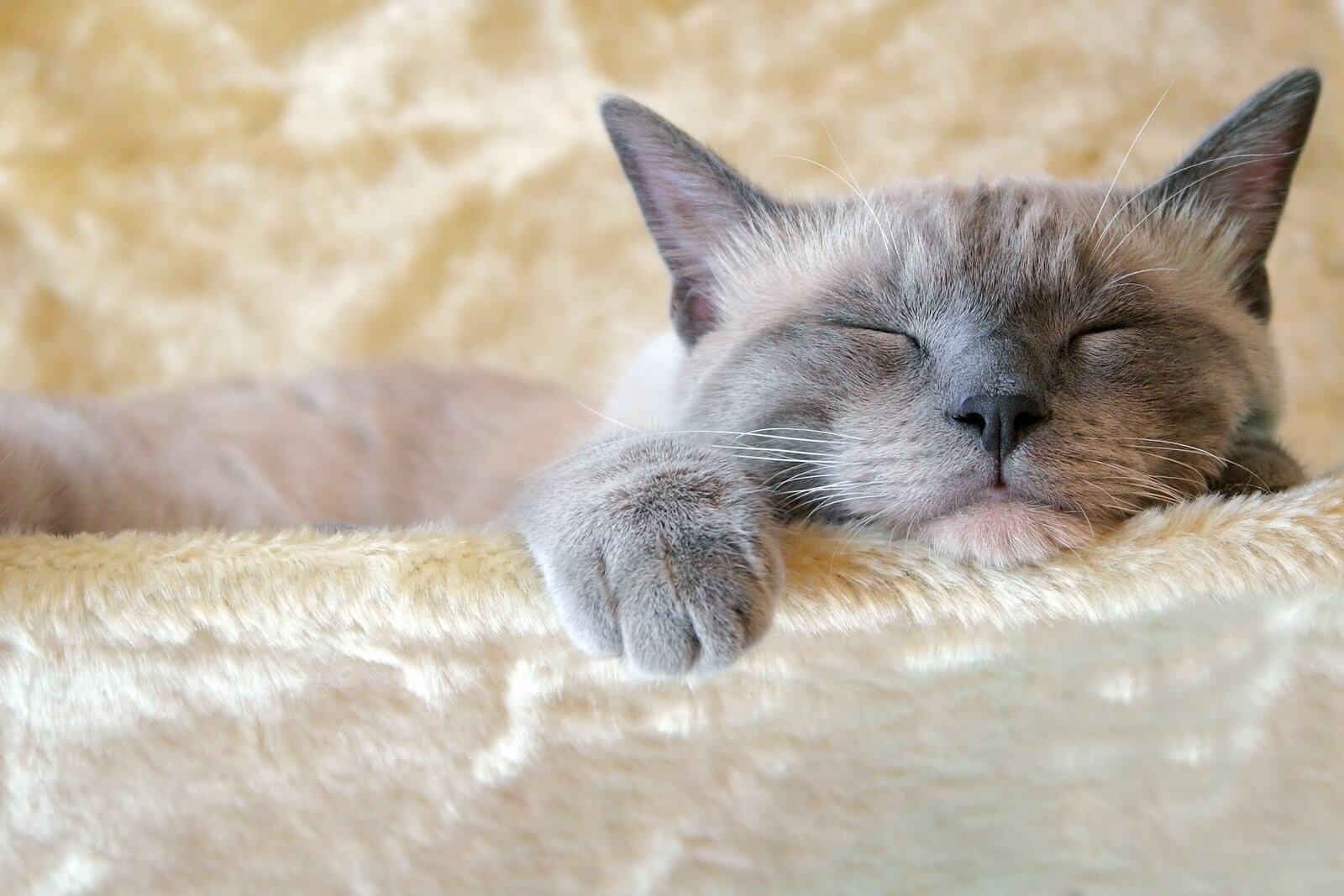 Tanda-tanda Kucing Betina Berhasil Kawin: Kucing Lebih Sering Tidur