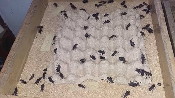 Melakukan Pemisahan Larva Saat Budidaya Ulat Jerman
