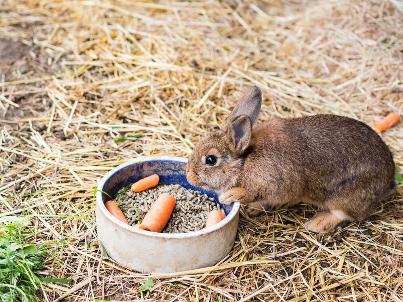 Memperhatikan Kebutuhan Asupan Makan Dan Minum Saat Kelinci Hamil