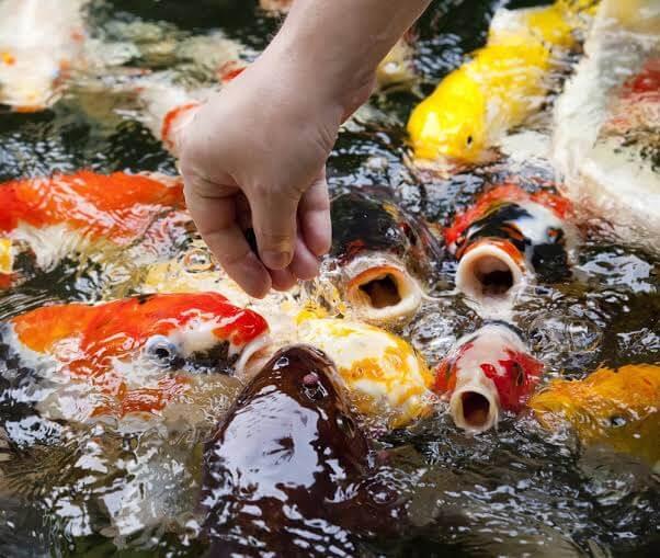 Pemberian Makan Ikan Koi yang Cukup Serta Bergizi