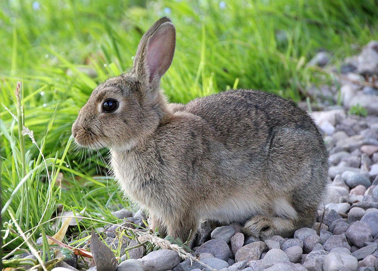 masa kehamilan kelinci