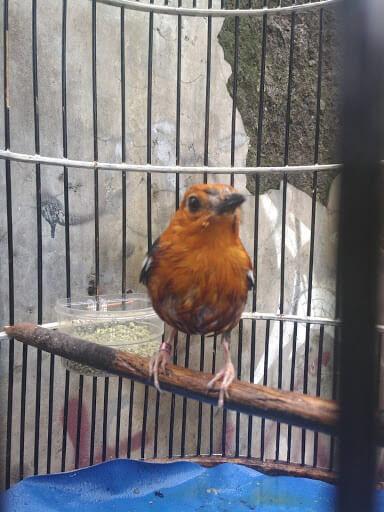 Memandikan Dan MenjemurUntuk Merawat Burung Anis Merah