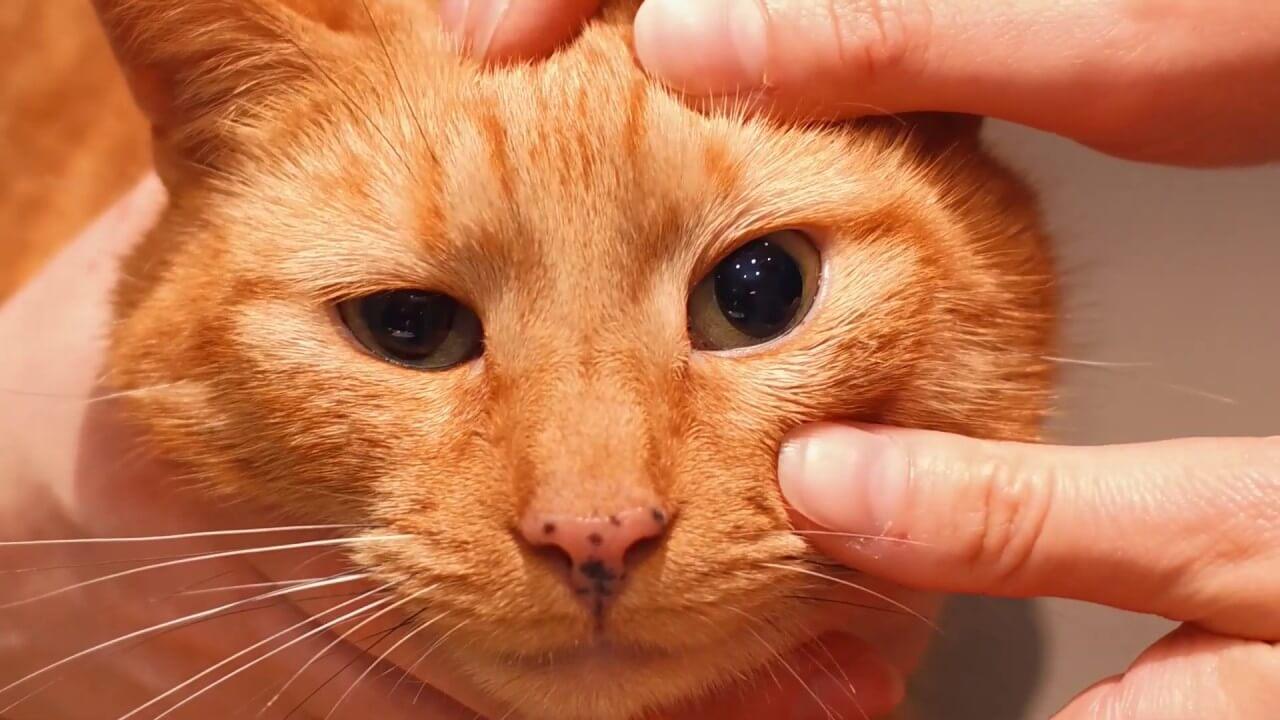 Bersihkan Secara Rutin Mata Kucing Belekan