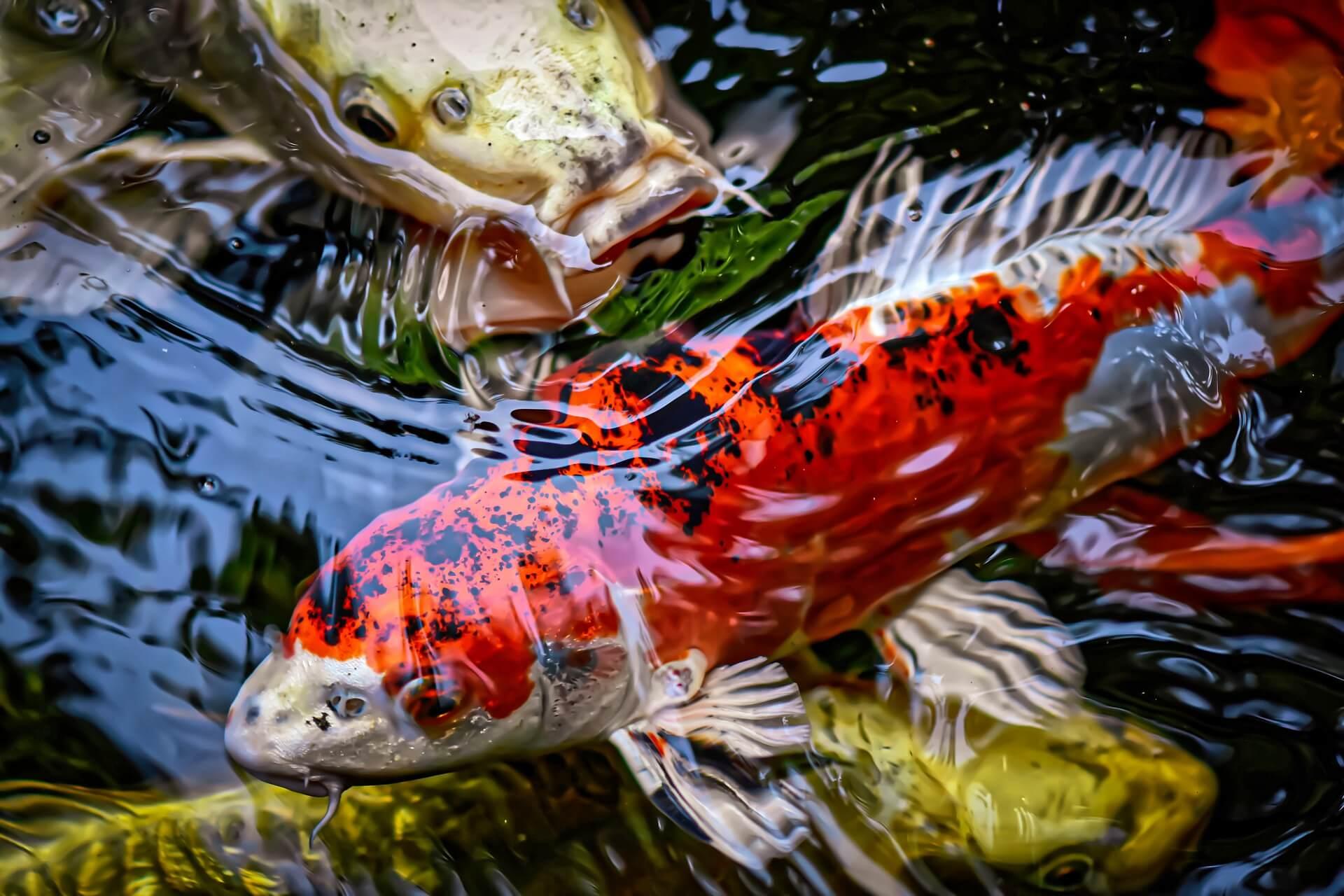Pilihlah Indukan Ikan Koi yang Memiliki Kualitas Bagus