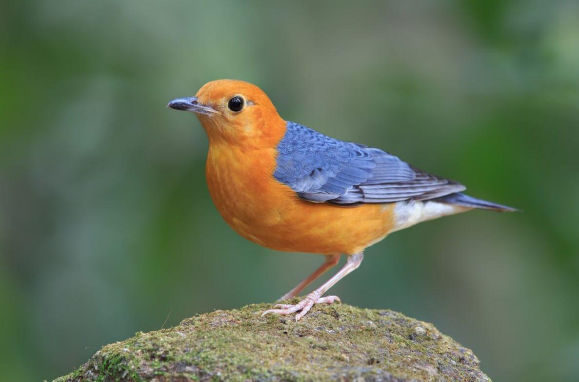 Mengenal Burung Anis Merah