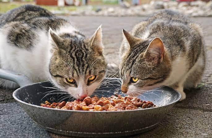 Campurkan Amoxilin dengan Makanan Kucing Untuk Pengobatan Sariawan Pada Kucing