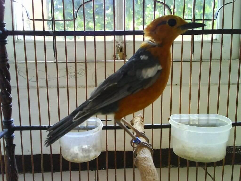Memberi Pakan Harianuntuk Perawatan Burung Anis Merah