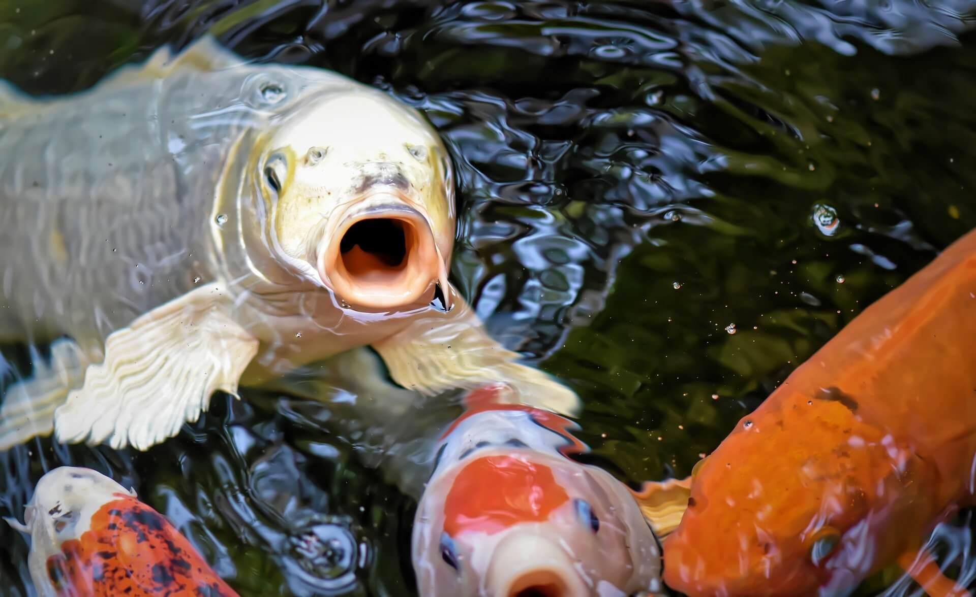 Periksa Kondisi Fisik Kesehatan Ikan Koi