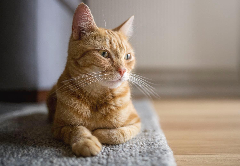 Ciri Kucing Betina Berhasil Kawin: Terhentinya Siklus Birahi