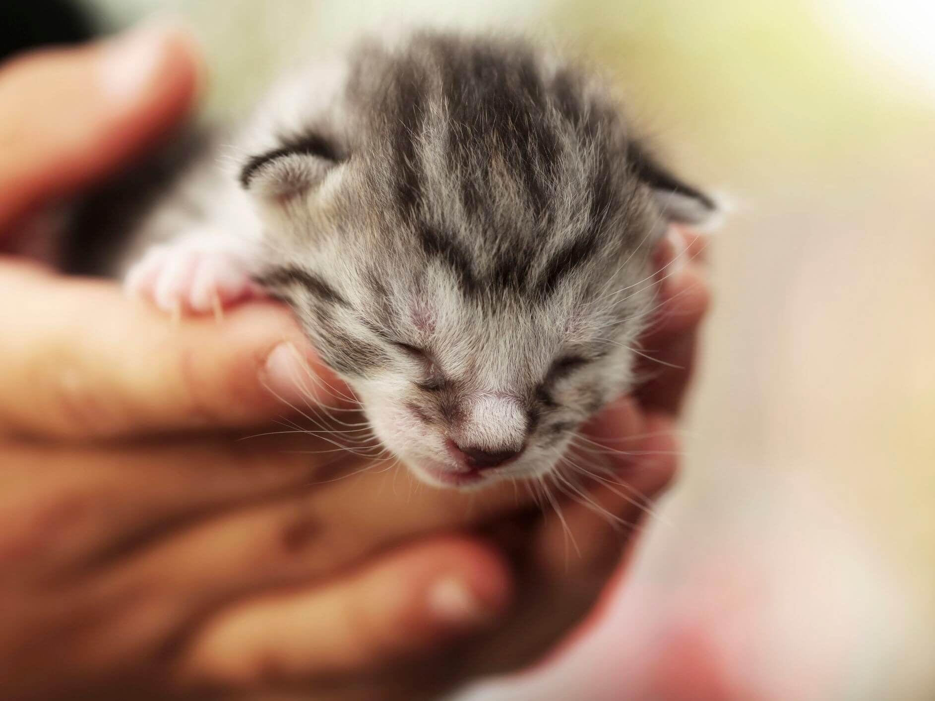 Cara Merawat Anak Kucing Baru Lahir Tanpa Induk: Beri Stimulasi Pada Anak Kucing Agar Bisa BAB