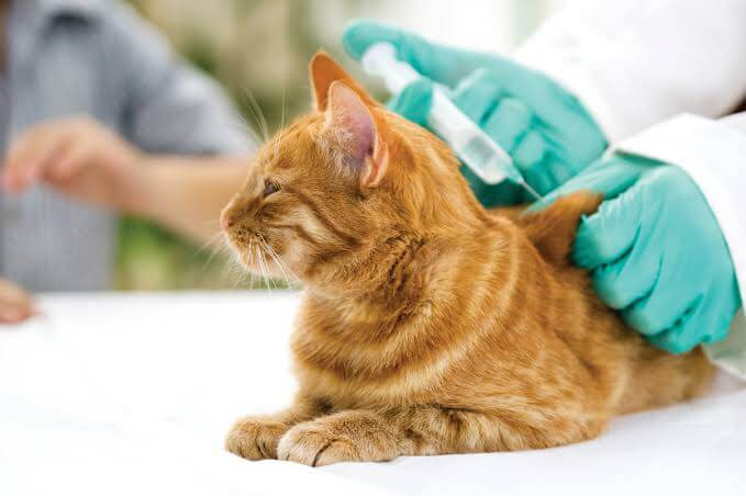 Berikan Suntikan Subkutan Atau Intramaskular Untuk Pengobatan Sariawan Pada Kucing