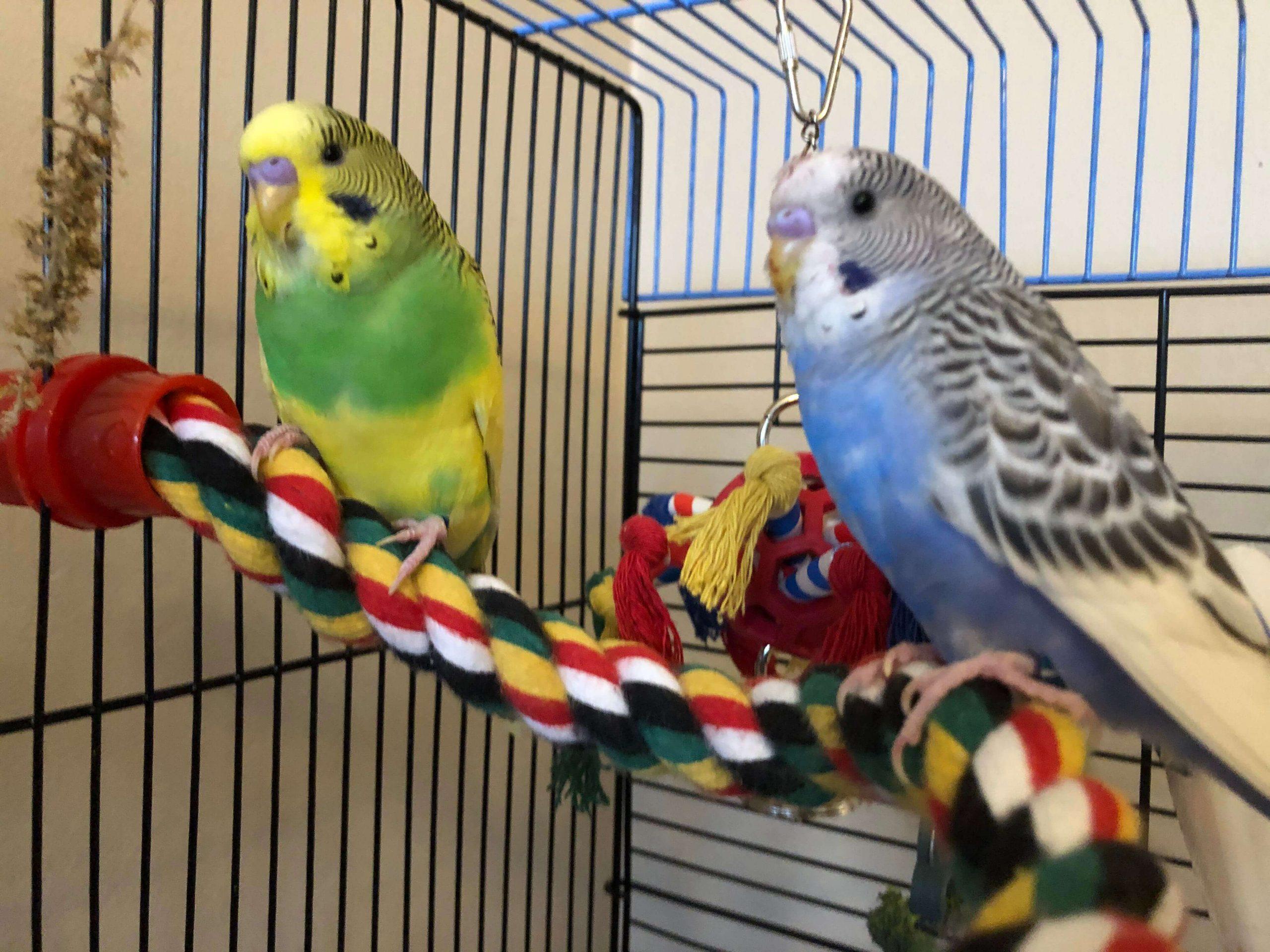 Letakkan Kandang Di Tempat Yang Nyaman Untuk Budidaya Burung Parkit