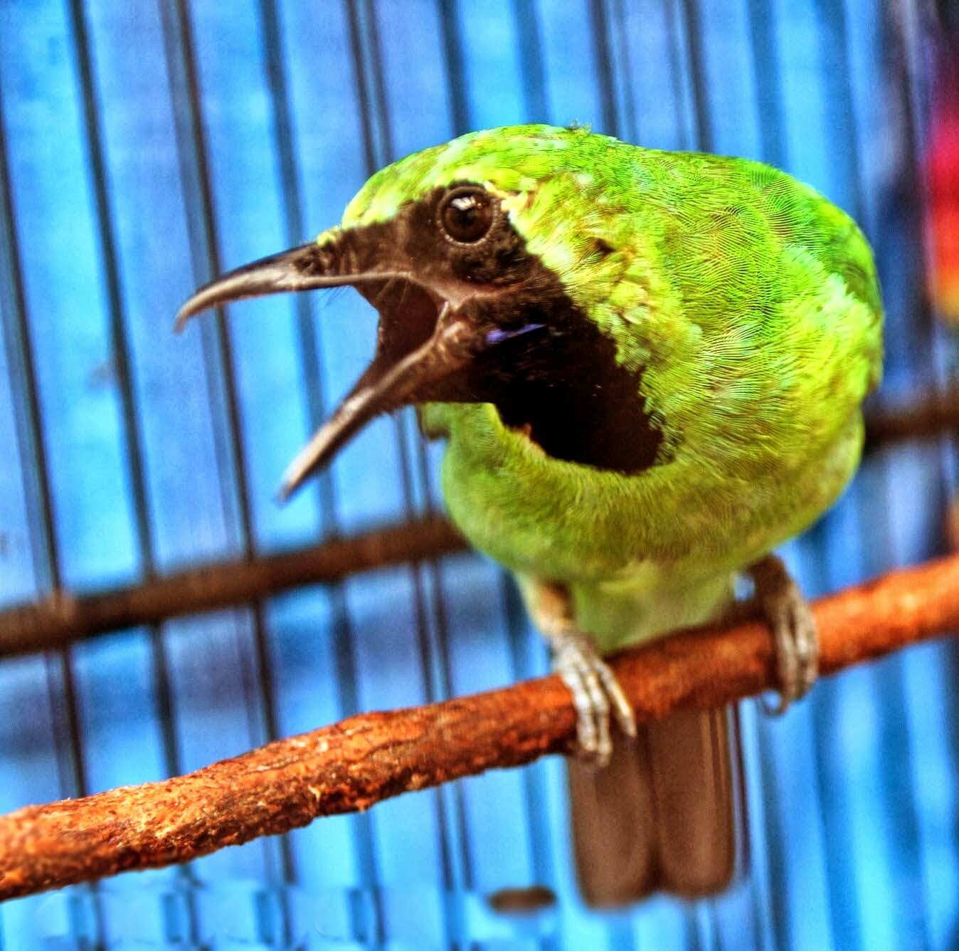 Buat Si Burung Melihat Pemiliknya Tidur Agar Cepat Jinak