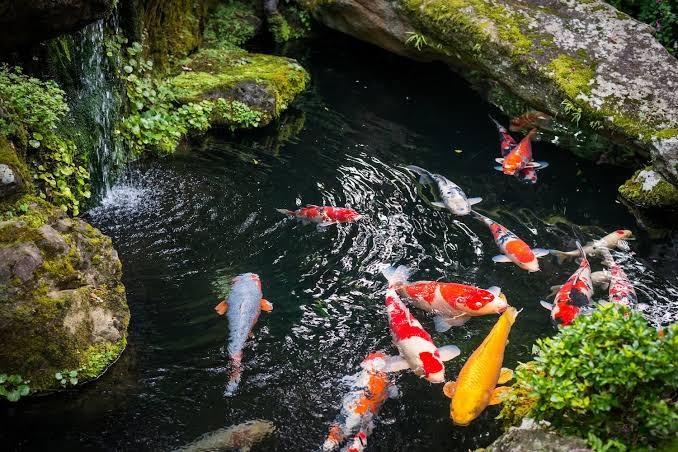 Pastikan Ukuran Kolam Sesuai dengan Jumlah Ikan Koi yang Berada di Dalam Kolam