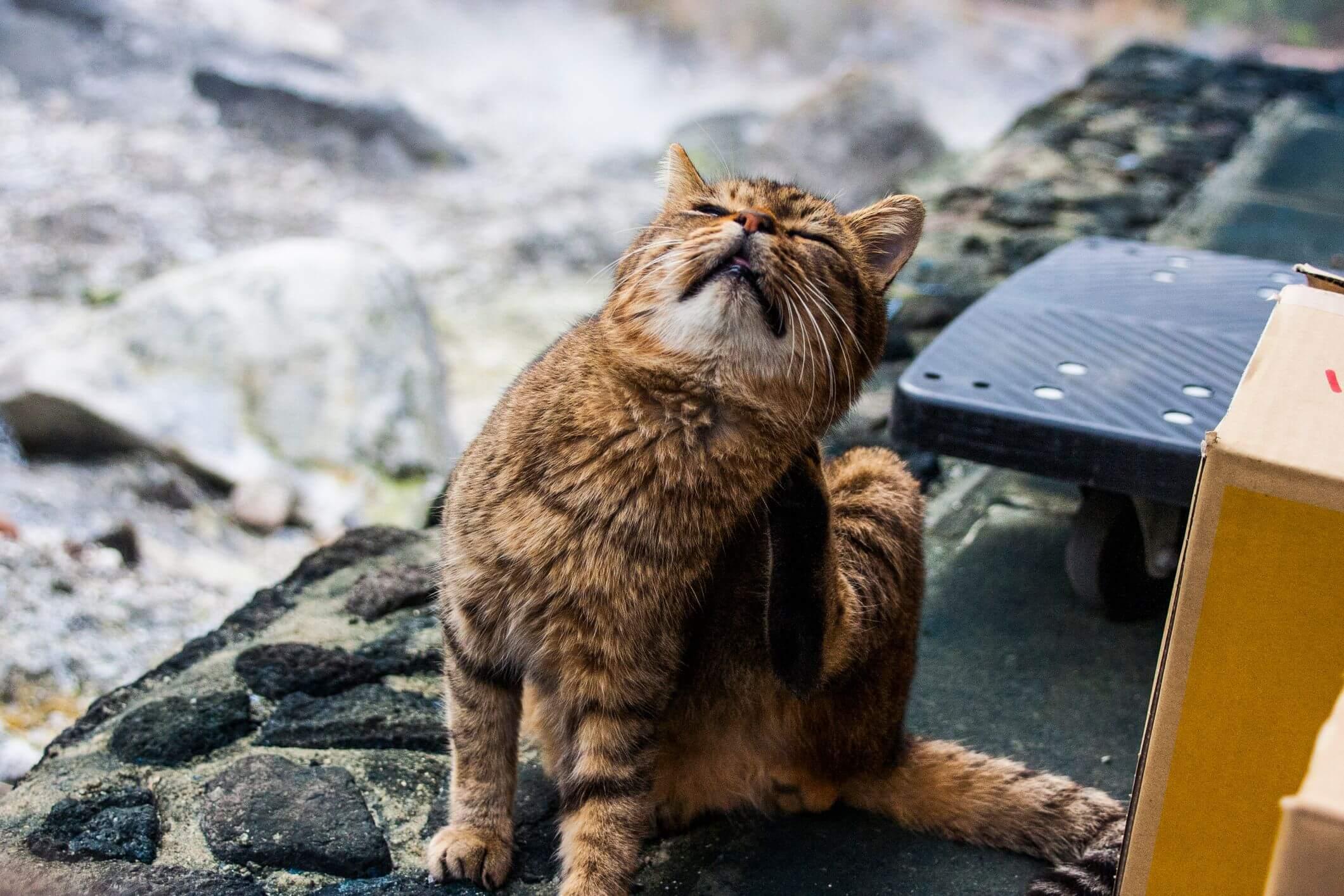 asal mula scabies pada kucing