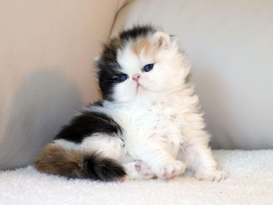 cara merawat anak kucing persia umur 2 bulan