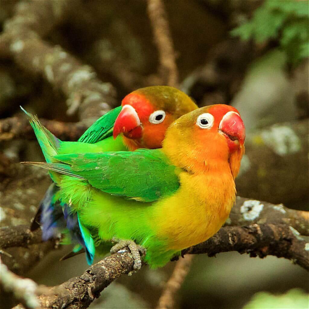 ciri bentuk anus lovebird jantan dan betina