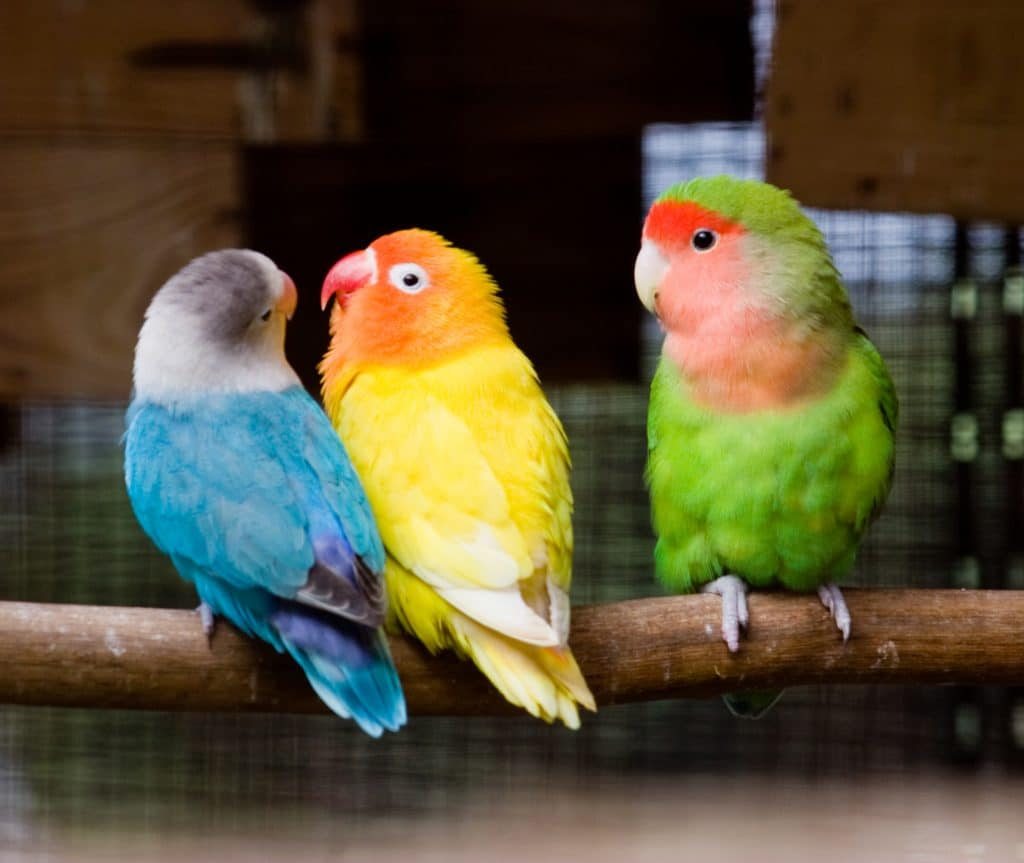 ciri bentuk paruh lovebird jantan dan betina