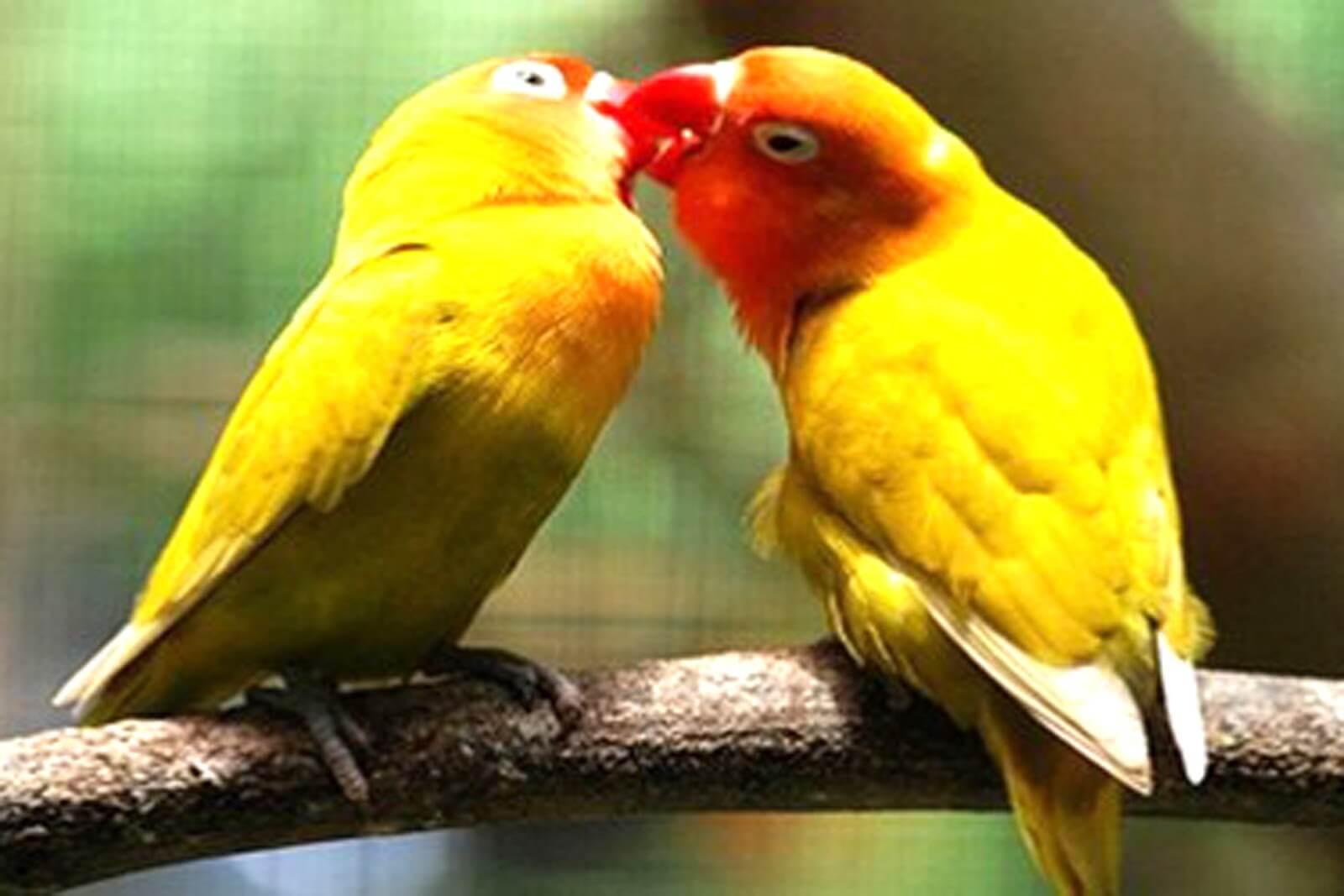 ciri bentuk tubuh lovebird jantan dan betina