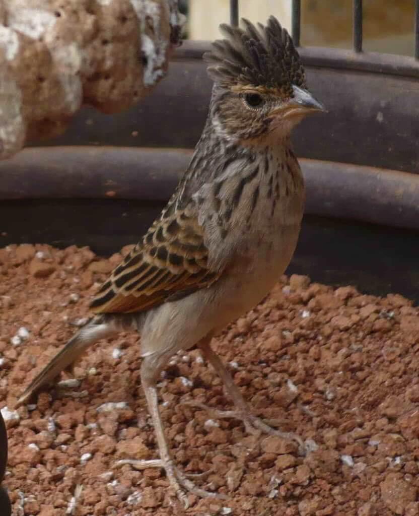 gambar burung branjangan jawa