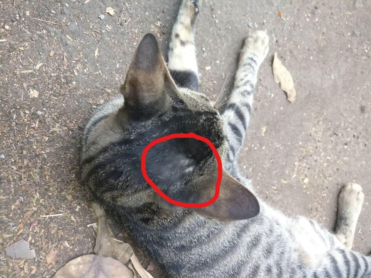 ciri scabies pada kucing adalah bulu kepala kucing rontok