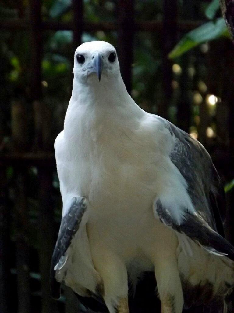 harga burung elang perut putih