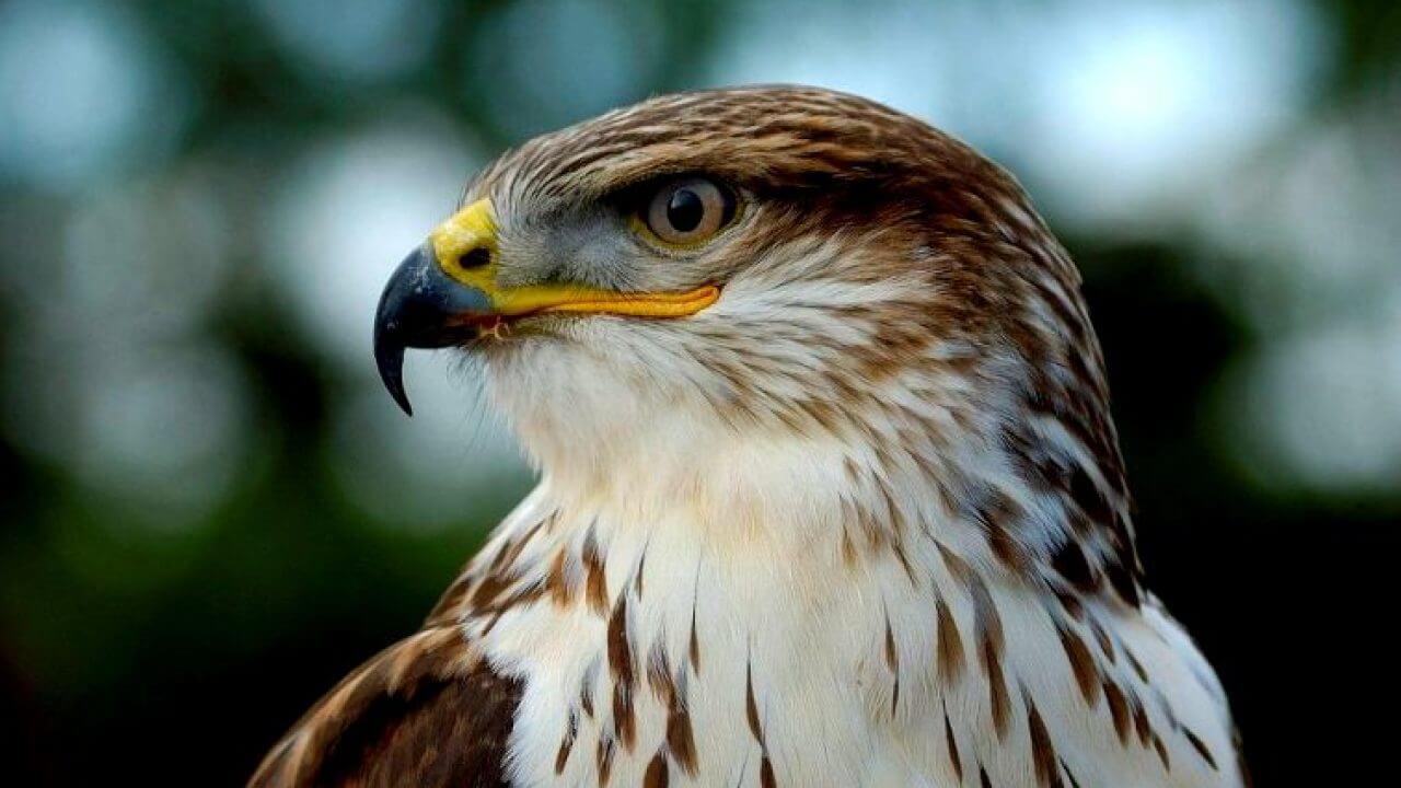gambar burung elang