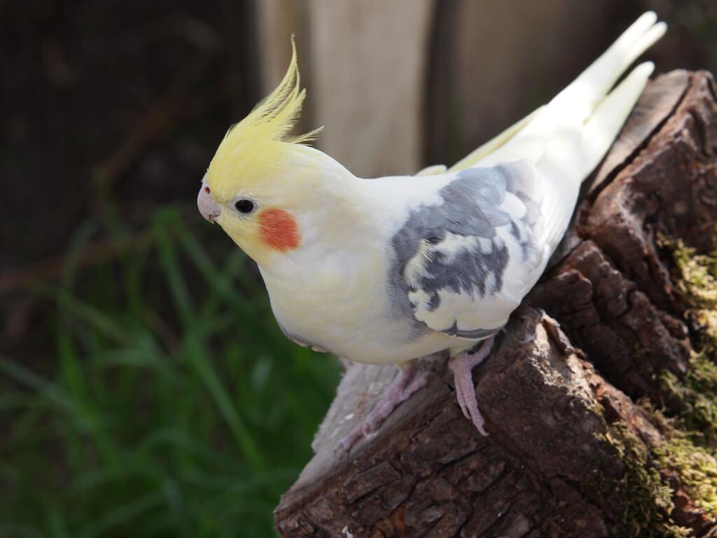 harga burung falk pied