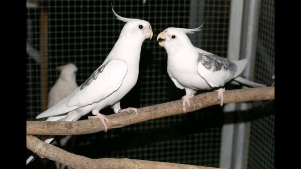 harga burung falk white face