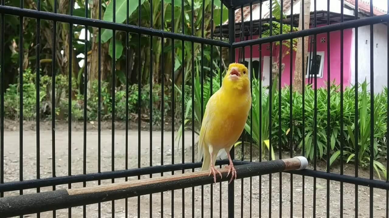 gambar burung kenari f1