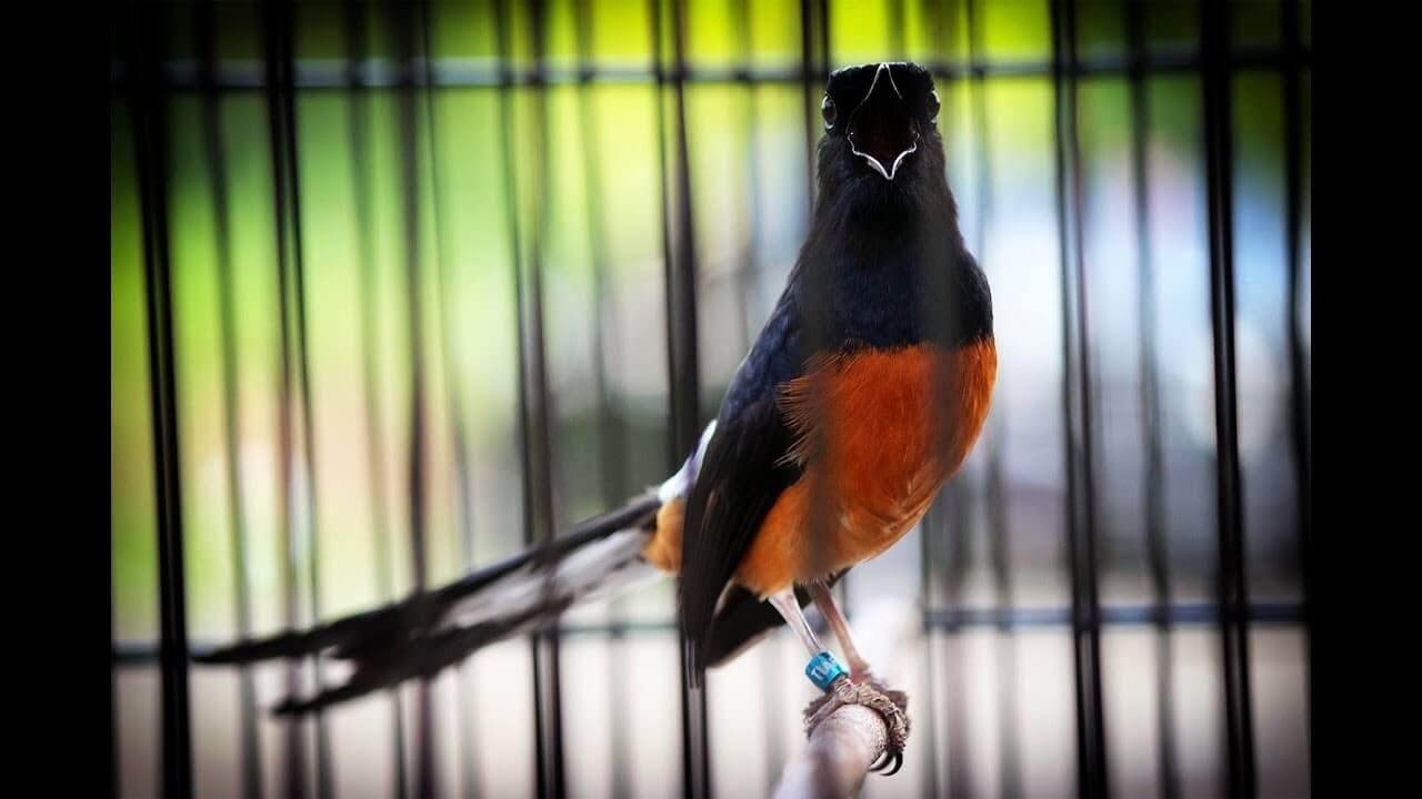 foto burung murai bahorok
