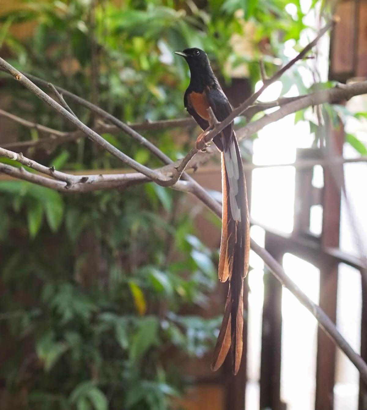 gambar burung muria malaysia