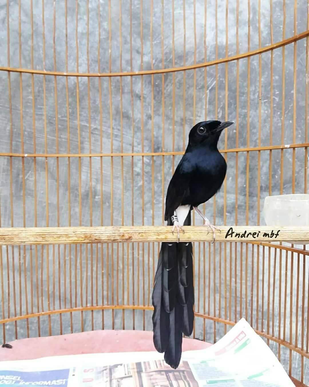 foto burung murai papua