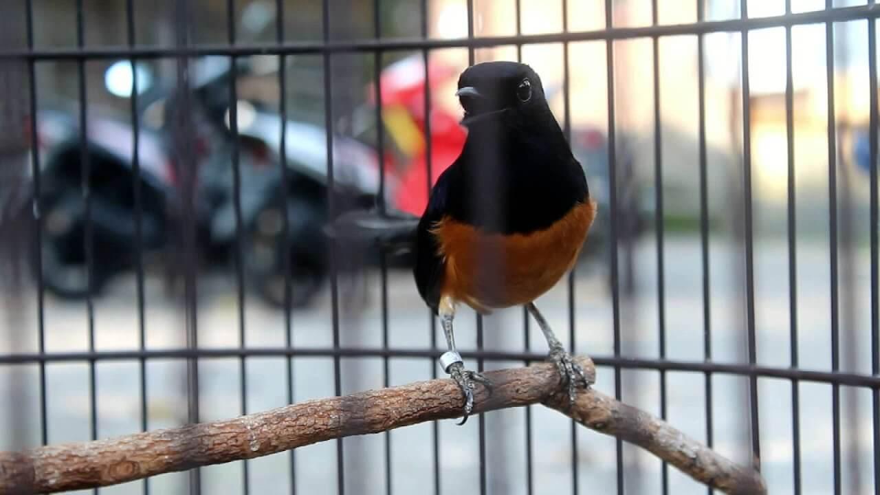 foto burung murai