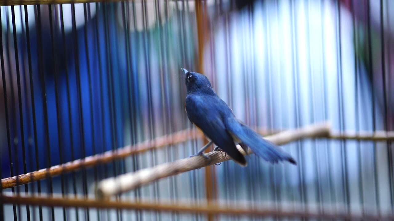 harga burung tledekan bakau