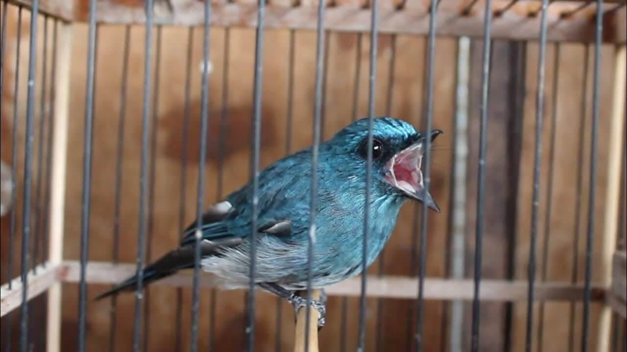 harga burung tledekan selendang biru