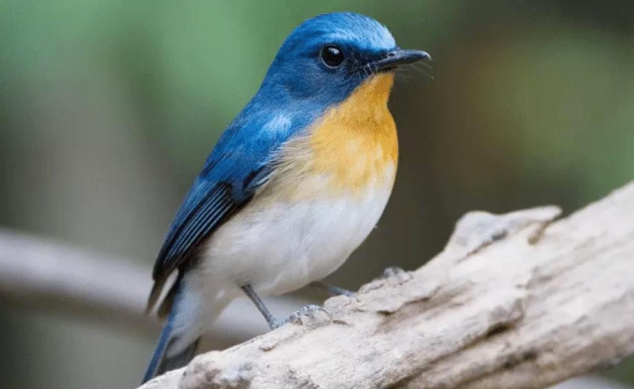 gambar burung tledekan