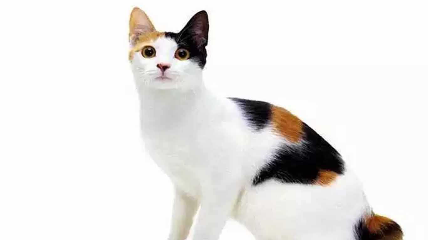 Kucing kembang telon jantan steril