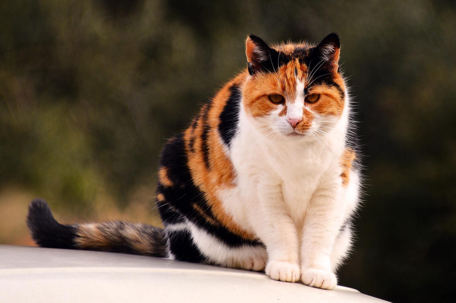 kucing kembang telon tidak bisa kawin silang