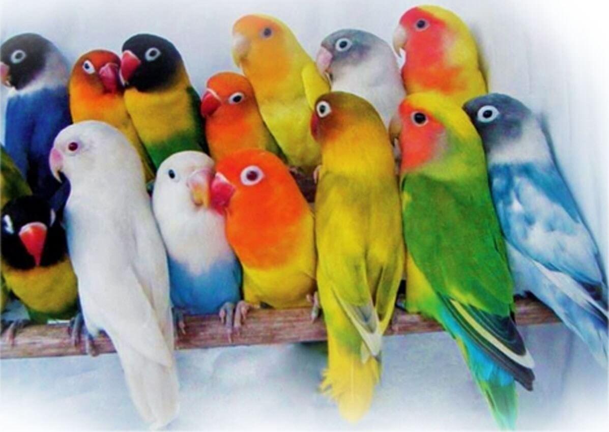 cara ternak lovebird sistem koloni