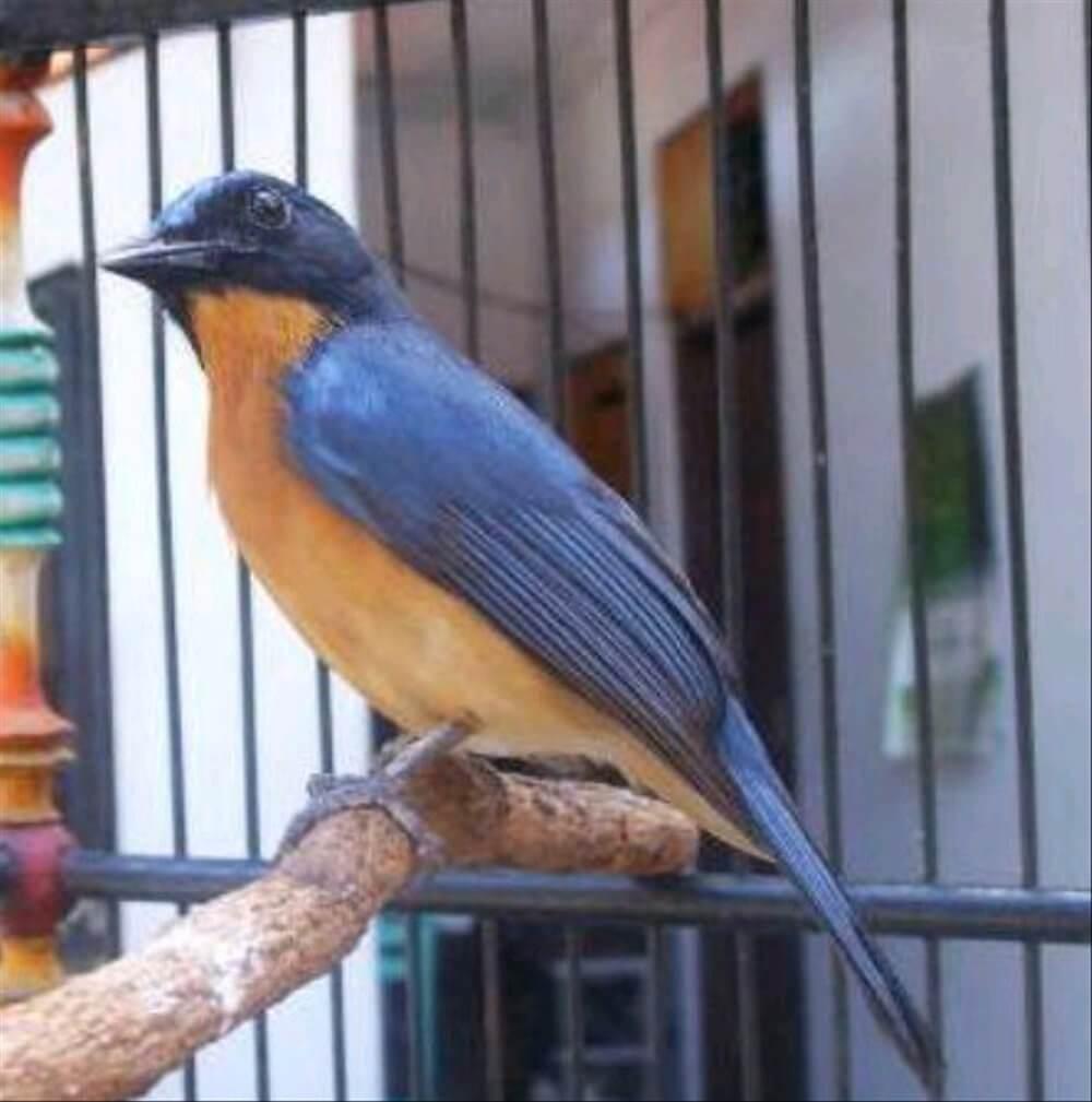 cara merawat burung tledekan agar gacor