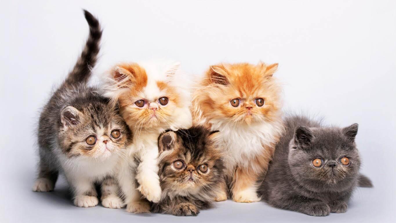 tata cara merawat anak kucing persia