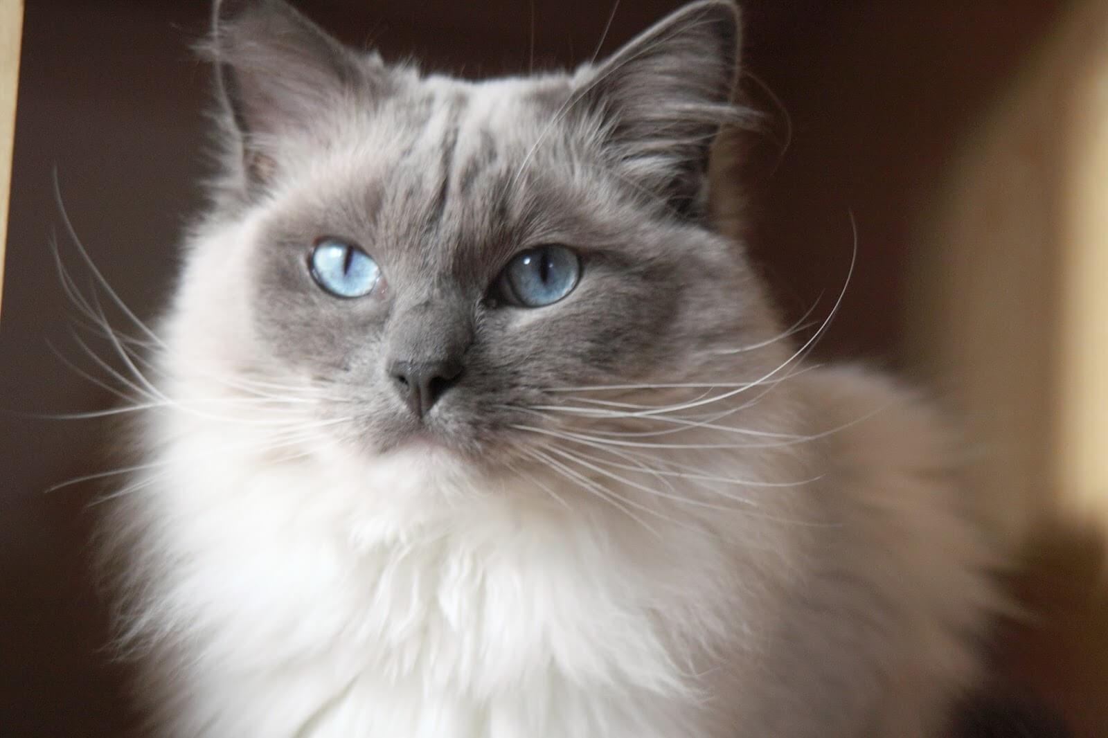 cara merawat kucing ragdoll yang baik dan benar