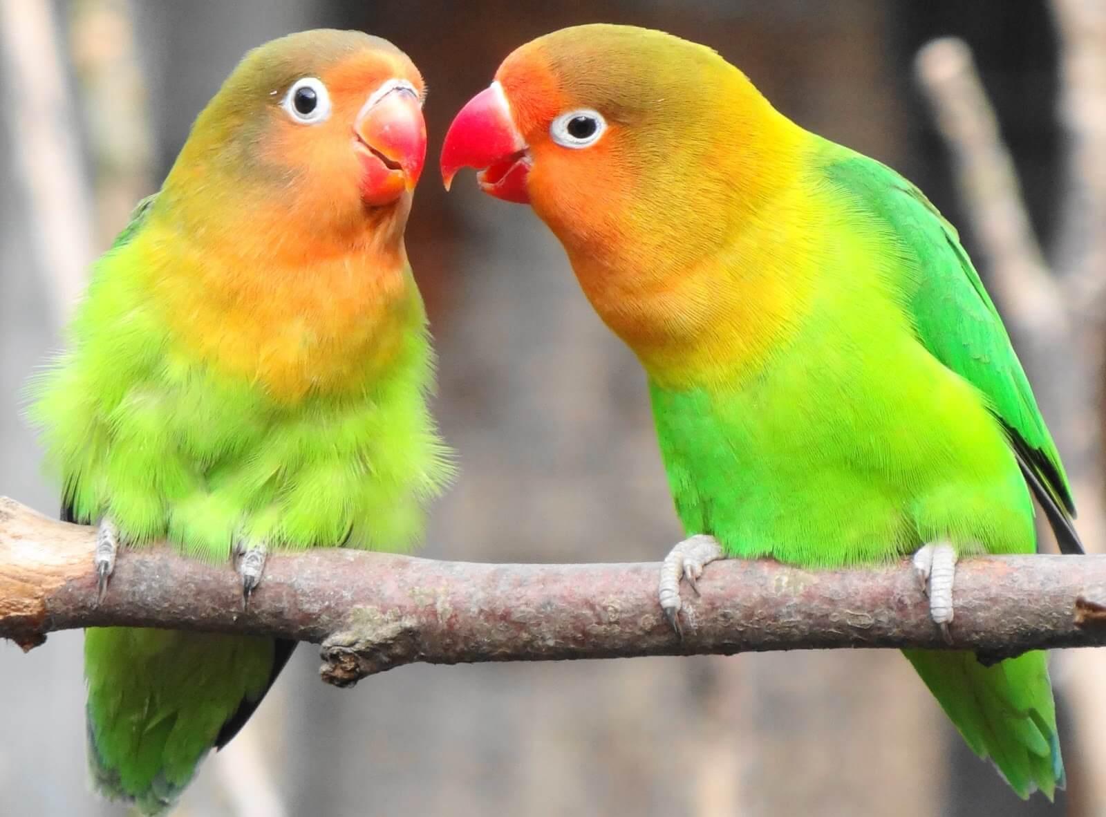 ciri fisik lovebird jantan dan betina