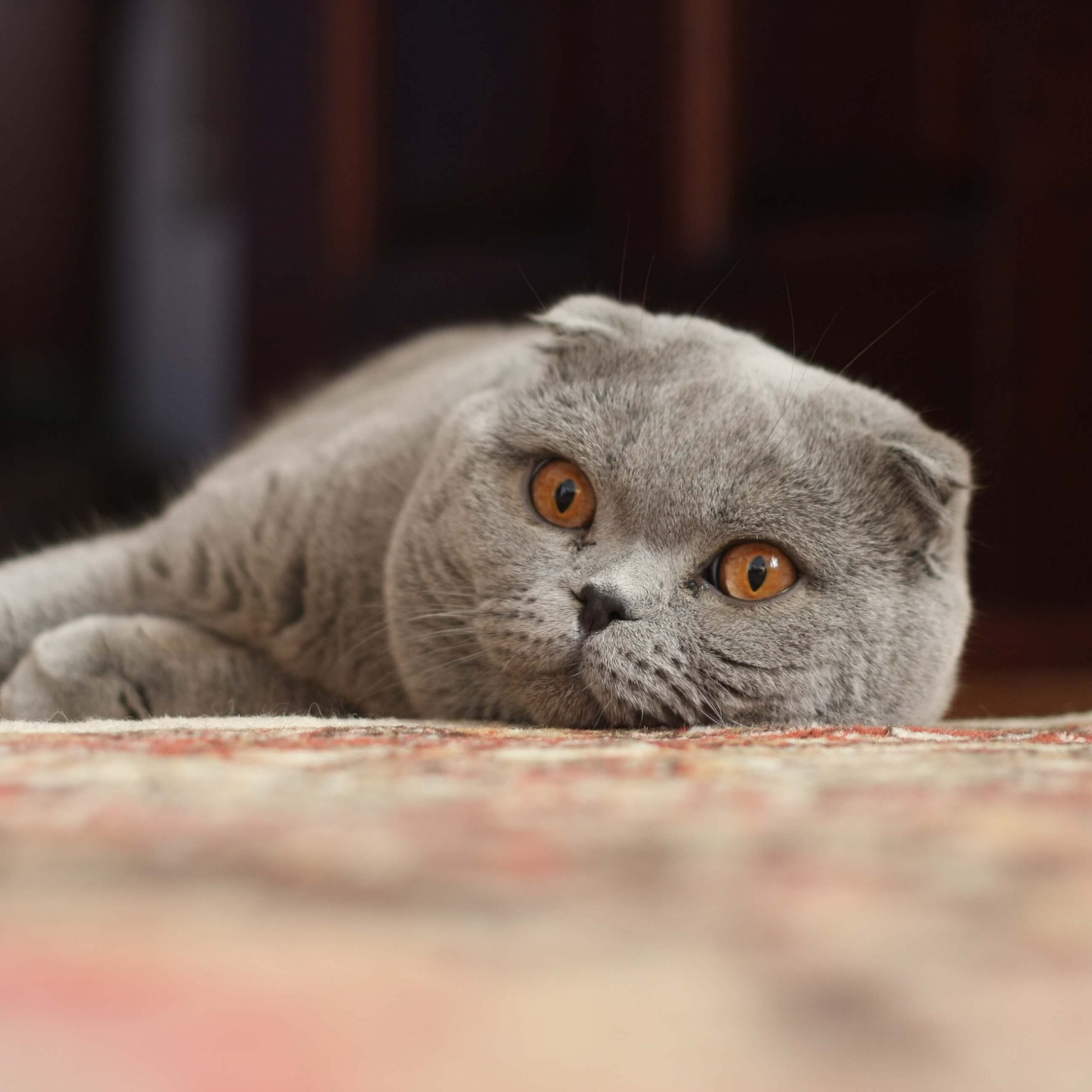 adopsi kucing scottish fold